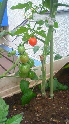 フーデニングトマト.jpg