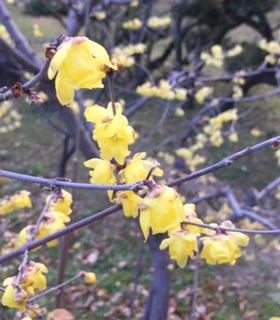 黄色いハル