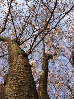 それでも桜(はな)は咲く